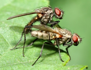 two 0.28 inch (7 mm) small flies of the family Anthomyiidae (André Karwath)