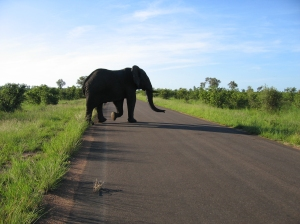Elephant crossing the road in Kruger National Park, South Africa, 22 January 2007 (Entropy1963)
