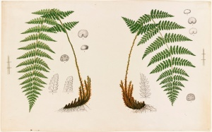 Fern Specimens, Chromolithograph, L. Prang & Co., Print Department, Boston Public Library