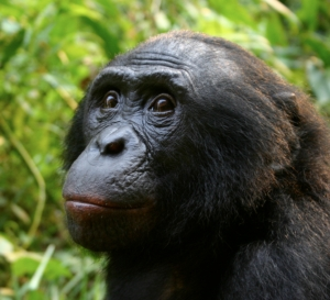 Male_Bonobo_Lola_ya_Bonobo_2008
