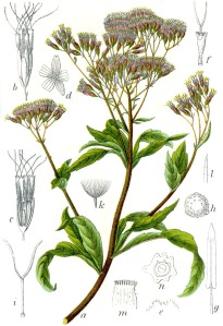 """Eupatorium cannabinum Sturm4"" by Johann Georg Sturm (Painter: Jacob Sturm) - Figure from Deutschlands Flora in Abbildungen at http://www.biolib.de. http://commons.wikimedia.org/wiki/File:Eupatorium_cannabinum_Sturm4.jpg#mediaviewer/File:Eupatorium_cannabinum_Sturm4.jpg."
